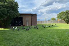 free-range flock