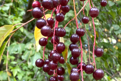 choke cherries