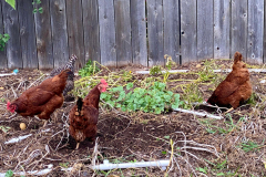 egg-laying-hens